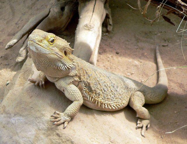 Gambar Nama Nama Hewan Dalam Bahasa Inggris Dan Gambarnya Lizard