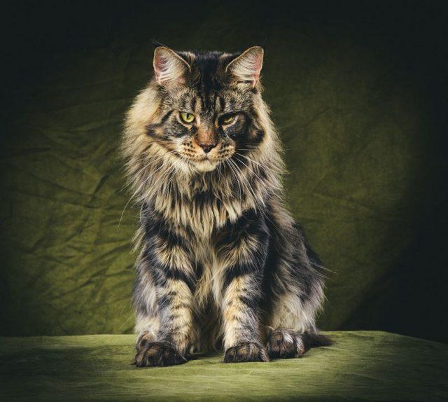 Gambar Jenis Jenis Kucing Dan Harganya Maine Coon