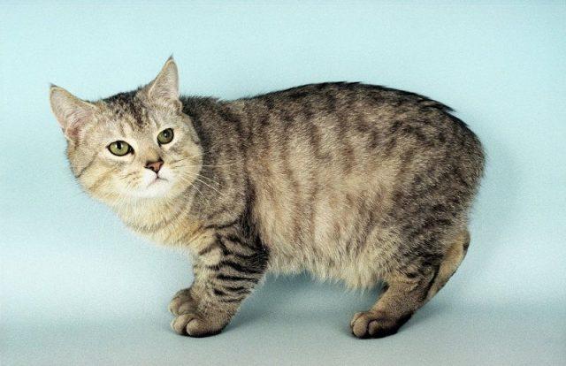 Gambar Jenis Jenis Kucing Dan Harganya Manx