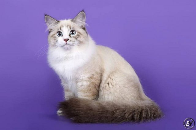 Gambar Jenis Jenis Kucing Dan Harganya Neva Masquerade