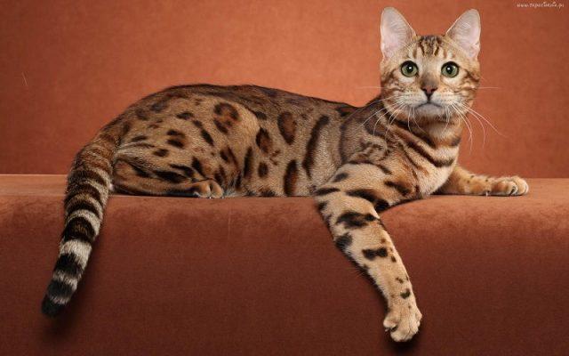 Gambar Jenis Jenis Kucing Dan Harganya Ocicat