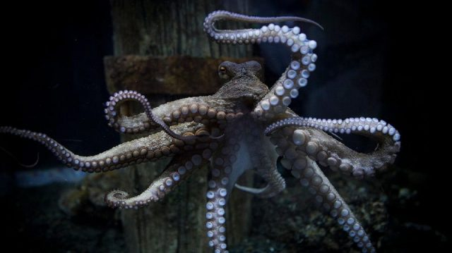 Gambar Nama Nama Hewan Dalam Bahasa Inggris Dan Gambarnya Octopus