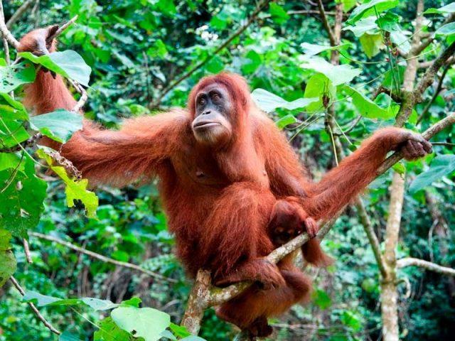 Gambar Nama Nama Hewan Dalam Bahasa Inggris Dan Gambarnya Orangutan
