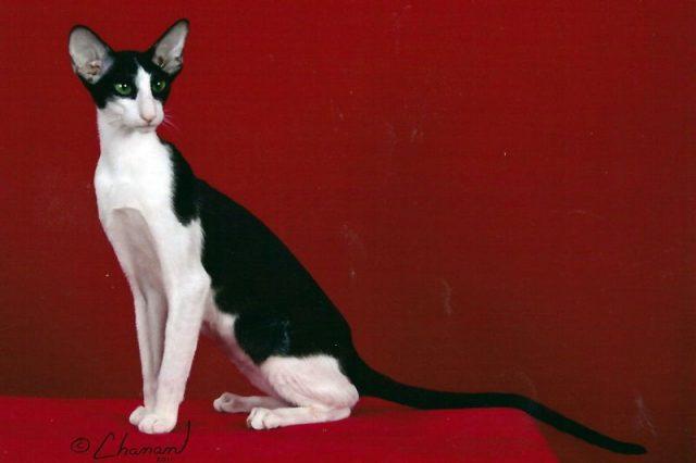 Gambar Jenis Jenis Kucing Dan Harganya Oriental Bicolour