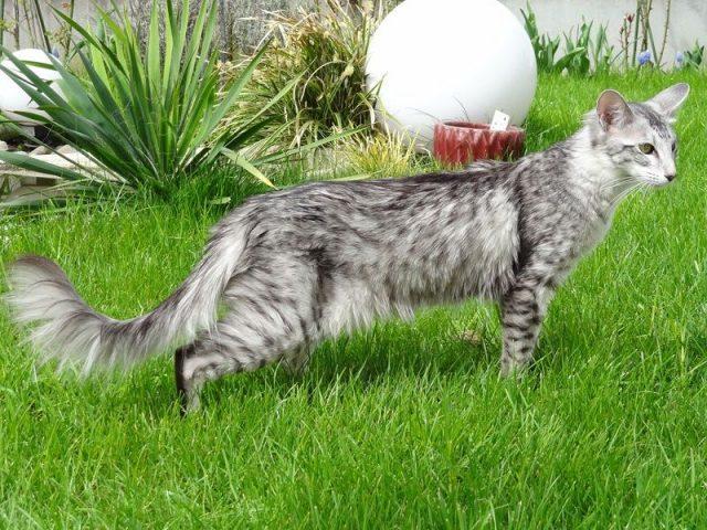 Gambar Jenis Jenis Kucing Dan Harganya Oriental Longhair