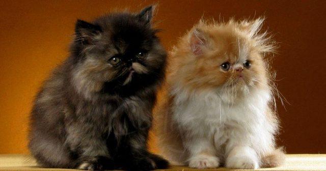 Gambar Jenis Jenis Kucing Dan Harganya Owyhee Bobs