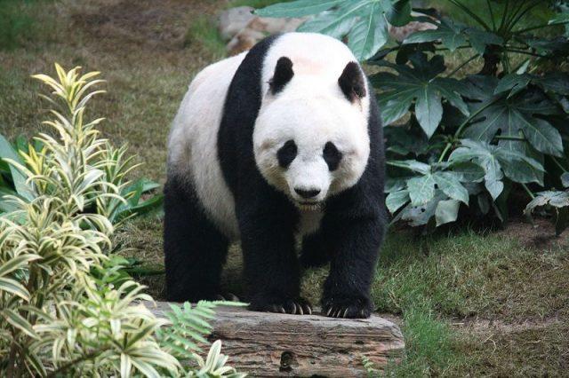 Gambar Nama Nama Hewan Dalam Bahasa Inggris Dan Gambarnya Panda