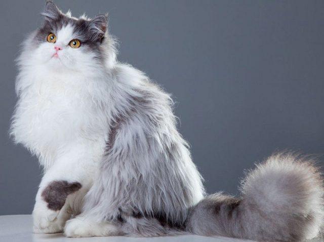 Gambar Jenis Jenis Kucing Dan Harganya Persian