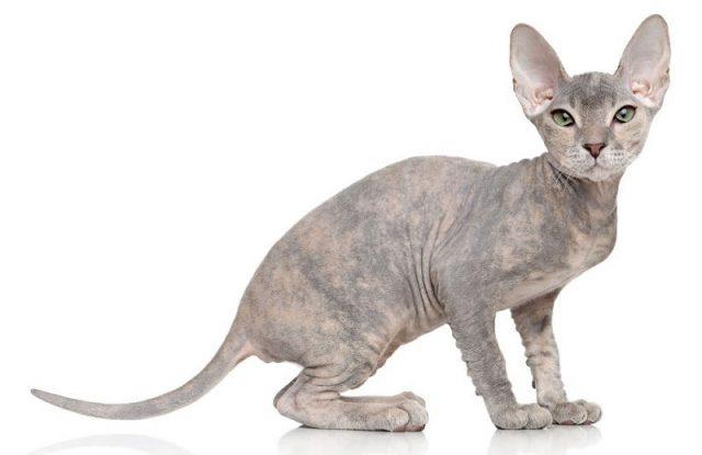 Gambar Jenis Jenis Kucing Dan Harganya Peterbald