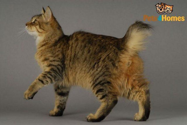 Gambar Jenis Jenis Kucing Dan Harganya Pixie-bob
