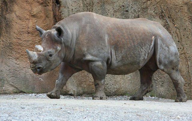 Gambar Nama Nama Hewan Dalam Bahasa Inggris Dan Gambarnya Rhinoceros