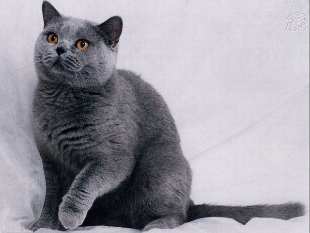 Gambar Jenis Jenis Kucing Dan Harganya Russian Shorthair