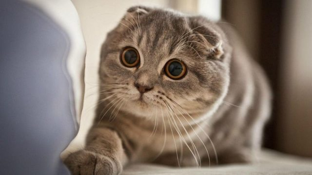 Gambar Jenis Jenis Kucing Dan Harganya Scottish Fold