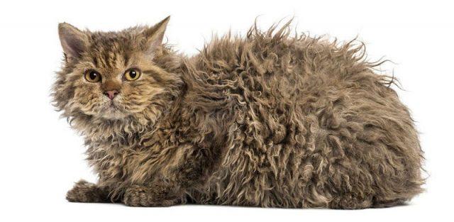 Gambar Jenis Jenis Kucing Dan Harganya Selkirk Rex