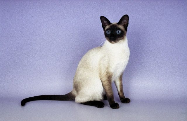 Gambar Jenis Jenis Kucing Dan Harganya Siamese