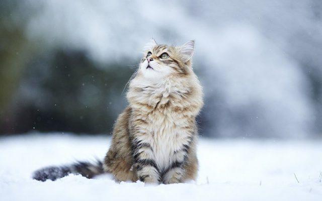 Gambar Jenis Jenis Kucing Dan Harganya Siberian cat
