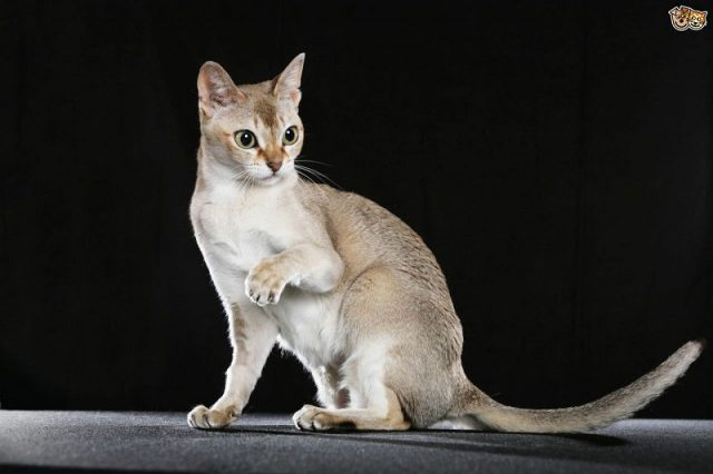 Gambar Jenis Jenis Kucing Dan Harganya Singapura cat