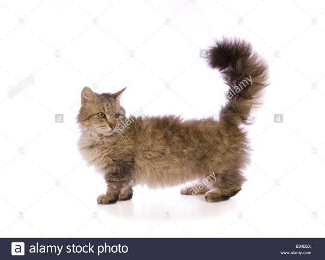 Gambar Jenis Jenis Kucing Dan Harganya Skookum