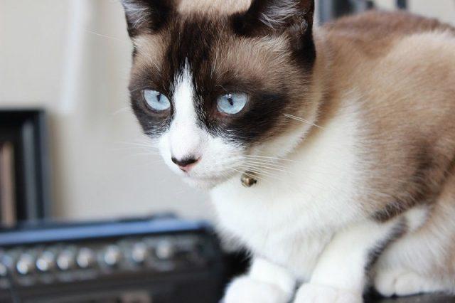 Gambar Jenis Jenis Kucing Dan Harganya Snowshoe