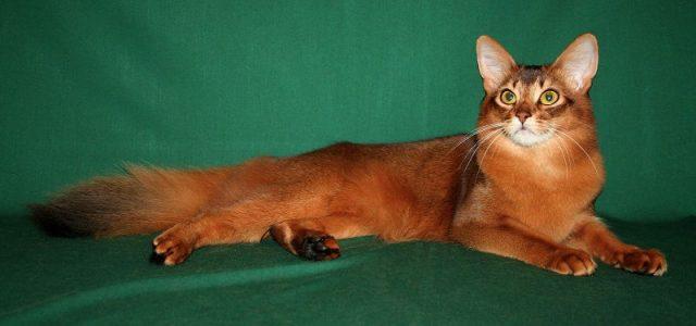 Gambar Jenis Jenis Kucing Dan Harganya Somali cat