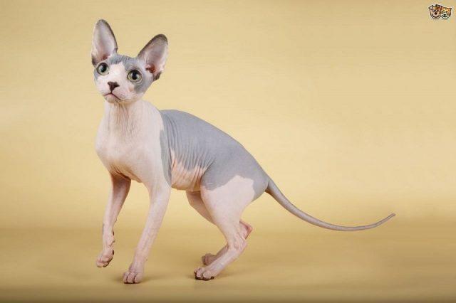 Gambar Jenis Jenis Kucing Dan Harganya Sphynx