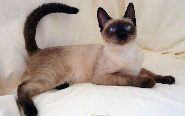 Gambar Jenis Jenis Kucing Dan Harganya Thai Lilac