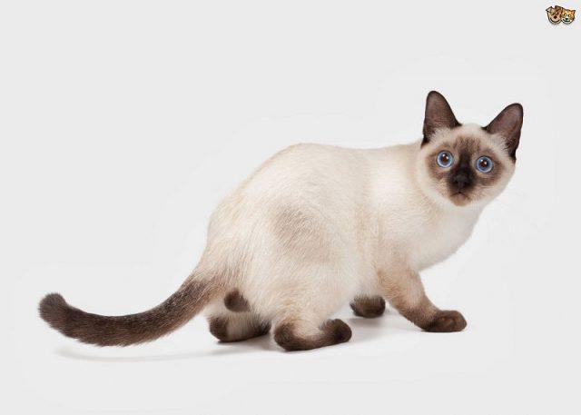 Gambar Jenis Jenis Kucing Dan Harganya Thai cat