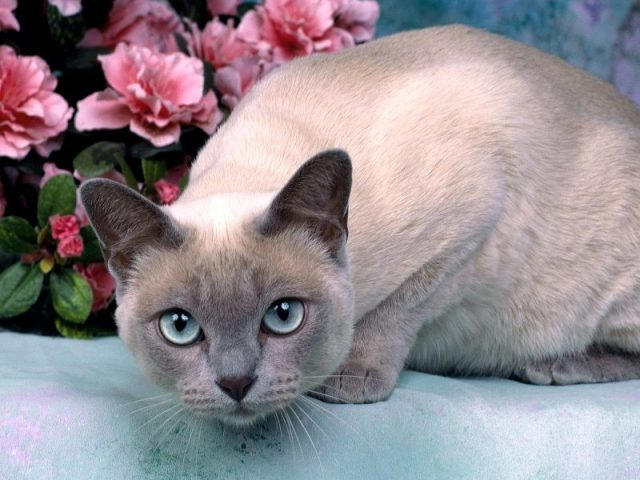 Gambar Jenis Jenis Kucing Dan Harganya Tonkinese