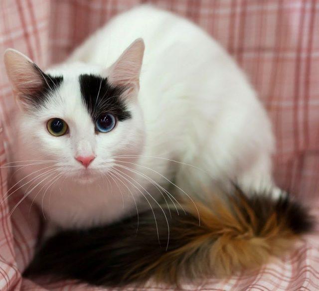 Gambar Jenis Jenis Kucing Dan Harganya anatolian