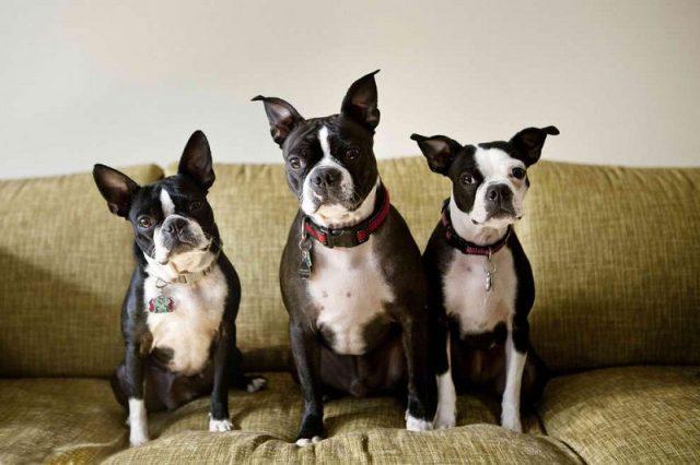 Gambar Anjing Boston Terrier Sebaiknya Di Dalam Rumah