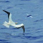 Gambar Burung Adalah Pemangsa Ikan Laut Yang Bisa Terbang