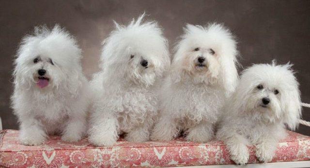 Gambar Ciri Ciri Anjing Bolognese