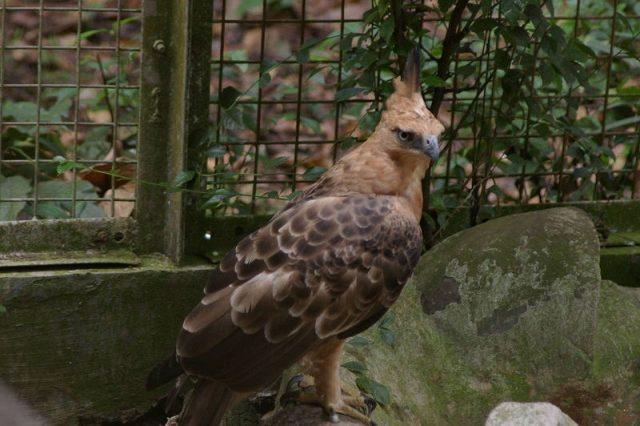 Gambar Nama Nama Burung Langka Di Indonesia Elang Jawa (Spizaetus bartelsi)