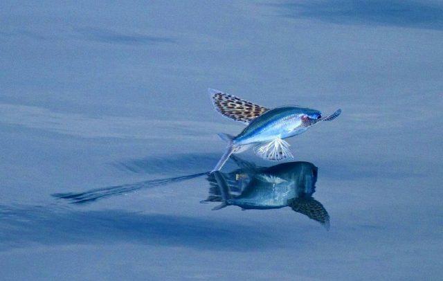 Gambar Ikan Laut Yang Bisa Terbang Akan Terbang Lagi Ketika Di Bawah Masih Ada Bahaya