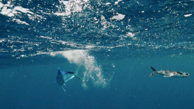Gambar Ikan Marlin Adalah Pemangsa Ikan Laut Yang Bisa Terbang