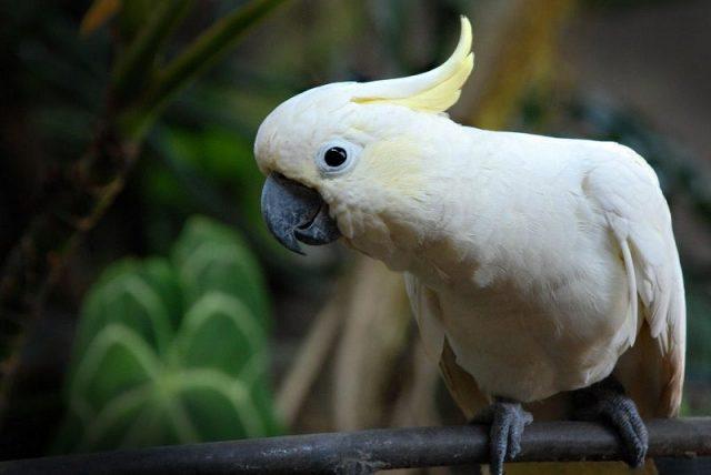 Gambar Nama Nama Burung Langka Di Indonesia Kakatua Kecil Jambul Kuning (Cacatua sulphurea)