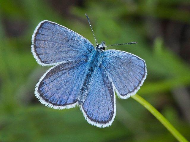 Gambar Dan Foto Karner butterfly ( Lycaedes melissa samuelis ) - Serangga Paling Langka