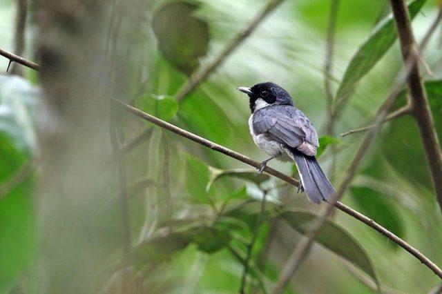 Gambar Nama Nama Burung Langka Di Indonesia Kehicap Flores (Monarcha sacerdotum atau Symposiachrus sacerdotum)
