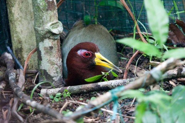 Gambar Nama Nama Burung Langka Di Indonesia Mandar Talaud (Gymnocrex talaudensis)