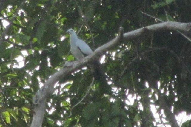 Gambar Nama Nama Burung Langka Di Indonesia Merpati Hutan (Columba argentina)