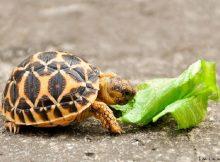 Gambar Nama Hewan Yang Dimulai Dari Huruf I-Indian Star Tortoise
