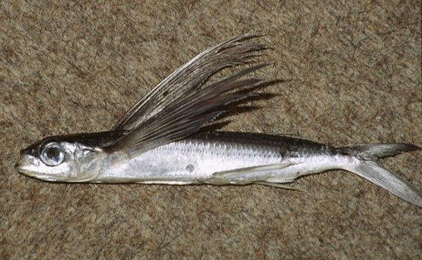 Gambar Nama Ikan Laut Yang Bisa Terbang Dari Marga Exocoetus