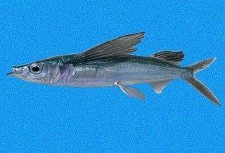 Gambar Nama Ikan Laut Yang Bisa Terbang Dari Marga Fodiator
