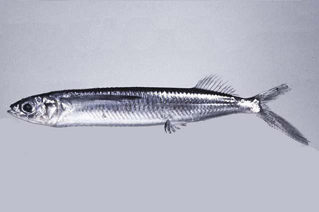 Gambar Nama Ikan Laut Yang Bisa Terbang Dari Marga Oxyporhamphus
