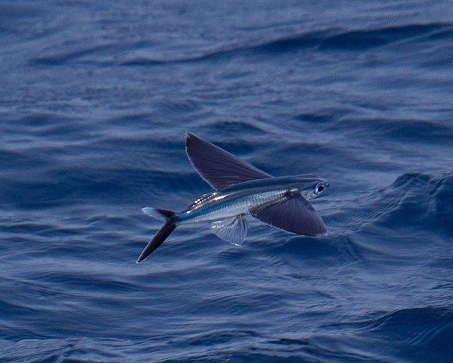 Gambar Nama Ikan Laut Yang Bisa Terbang Dari Marga Parexocoetus