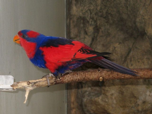Gambar Nama Nama Burung Langka Di Indonesia Nuri Talaud (Eos histrio)