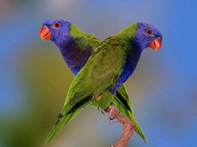 Gambar Nama Nama Burung Langka Di Indonesia Perkici Buru (Charmosyna toxopei)