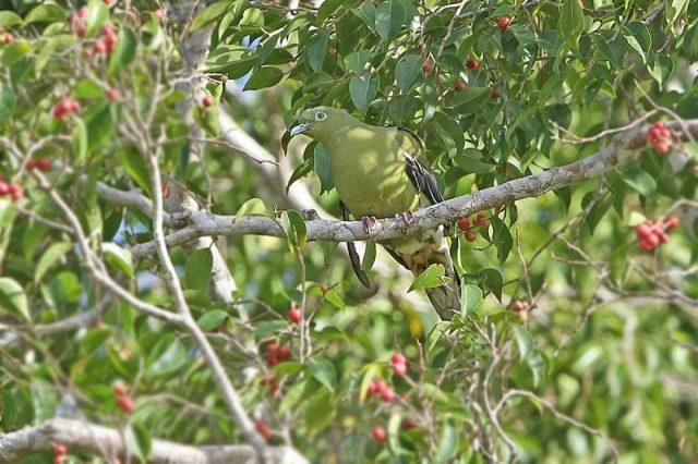 Gambar Nama Nama Burung Langka Di Indonesia Punai Timor (Treron psittaceus)