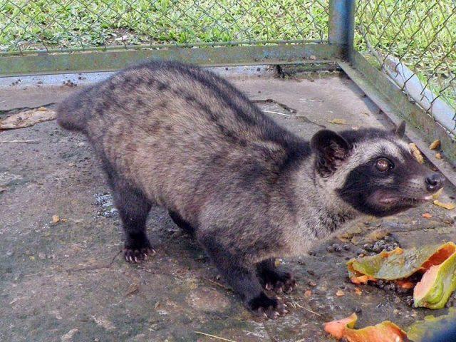 Gambar Punggung Musang Pandan - Perbedaan Musang Rase Dan Musang Pandan
