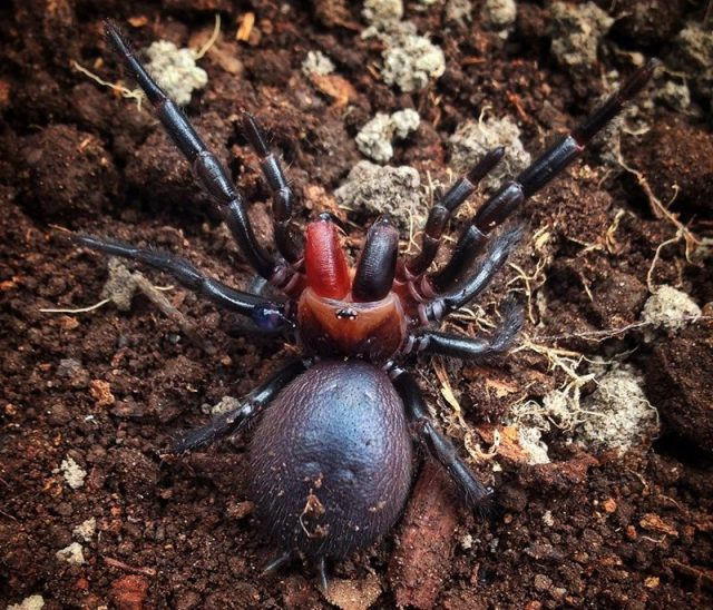 Gambar Dan Foto Red-fanged funnel spider ( Atrax sutherlandi ) - Serangga Paling Langka